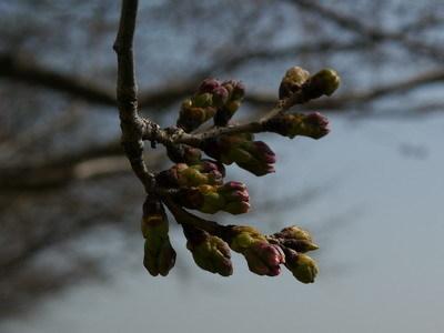 桜200140325.jpg